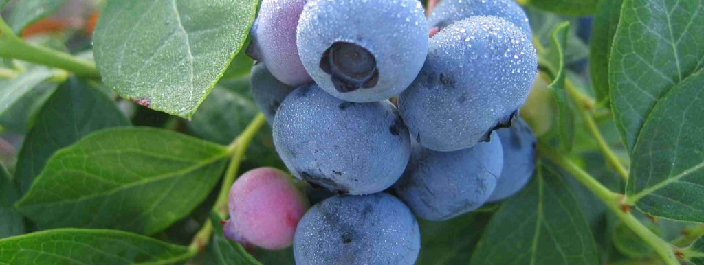 Blueberry Variety2