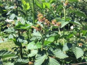 young blackberries