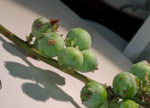 Egg cluster on berry fruit