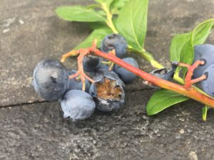 Large animal damage on blueberry fruit