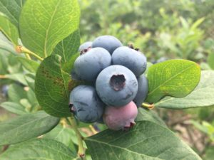 Cover photo for Blueberry Insect Monitoring Report, 9 June 2017