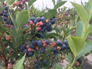 Cover photo for Blueberry Insect Monitoring Report, 4 August 2017